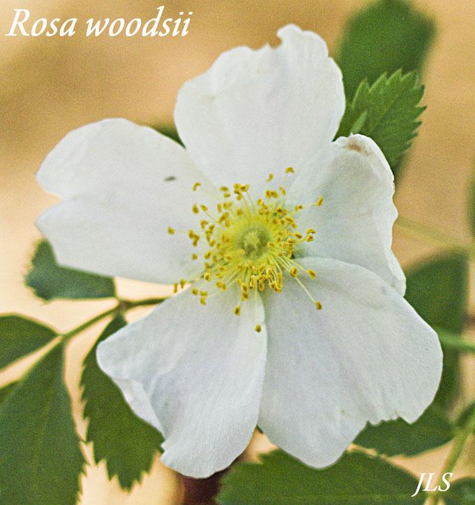 Rosa woodsii (Wild Rose)